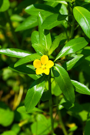 naturalization: Ludwigia peploides subsp stipulacea, ONAGRACEAE, Endangered ? class VU
