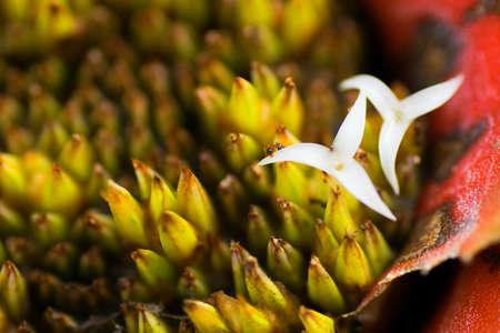 neoregelia: Neoregelia myrmecophila, pineapple