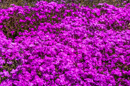 Pink moss phlox flowers and red of one side stock photo picture and pink moss phlox flowers and red of one side stock photo picture and royalty free image image 31715780 mightylinksfo