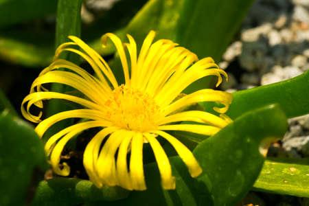 ka: Glottiphyllum linguiforme, ka, turuna, Aizoaceae, South Africa  Stock Photo