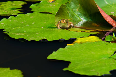 blackspotted: Black-spotted pond frog  on the water  lily pad  Stock Photo