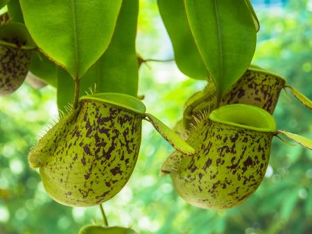 Nuova Guinea: Nepenthes Ampullaria., Nepenthaceae, Nuova Guinea