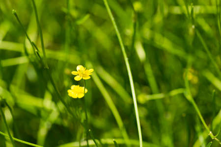 threatened: Spearwort, Ranunculaceae, Japan, near threatened NT