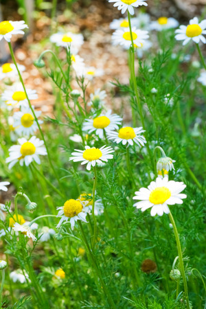 Roman chamomile, herbs