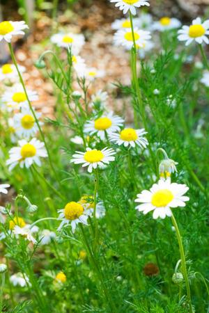 Roman chamomile, herbs 免版税图像 - 31718299