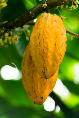 Theobroma cacao, Fruit of the cacao, Sterculiaceae, Central and South America