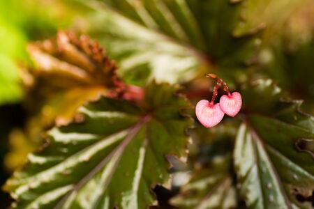 Nuova Guinea: Begonia serratipetala, Begoniaceae, Nuova Guinea Archivio Fotografico