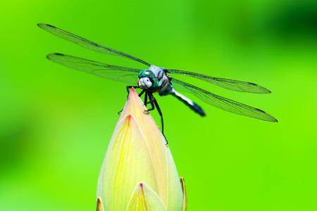 subspecies: Orthetrum albistylum speciosum (subspecies of white-tailed skimmer)