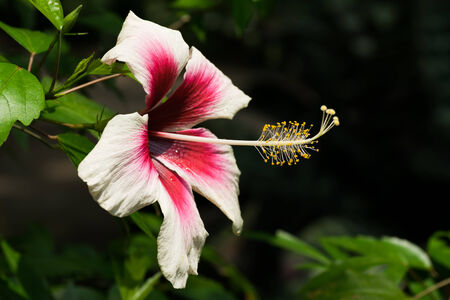 Tropical red and white bright flower hibiscus photo