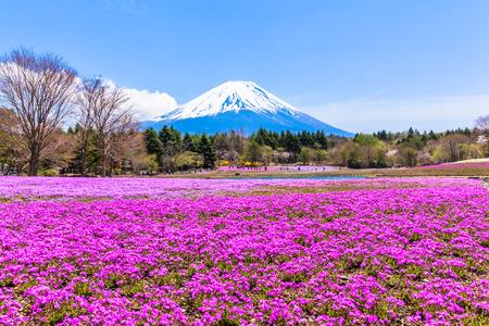 Pink moss phlox flowers and Mount Fuji 免版税图像 - 31717653