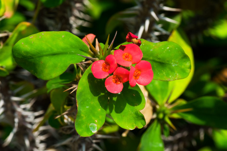 splendens: Euphoribia milii var splendens, Euphorbiaceae, Madagascar