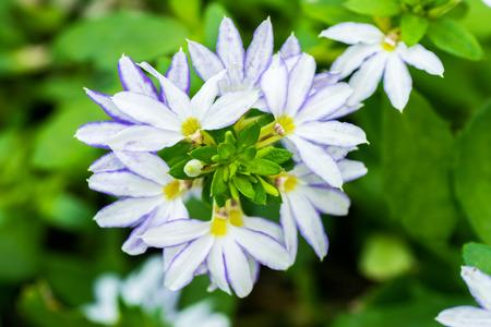 fan shaped: Scaevola aemula, blue fan flower, GOODENIACEAE, southeastern Australia  Stock Photo