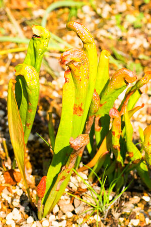 Sarracenia minor, Sarraceniaceae, North America Southeastern  photo