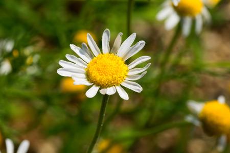 Roman chamomile, herbs 免版税图像 - 31717449