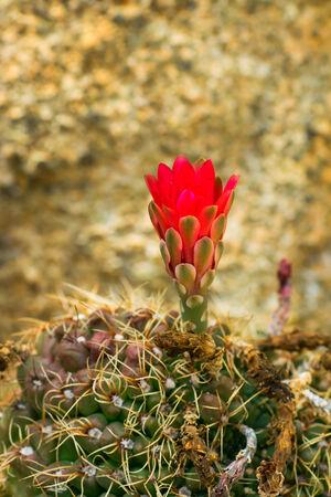 サボテン科 Grymnocalycium baldianium