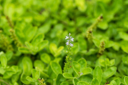 speedwell: Common Speedwell, Plantaginaceae, Europe  Stock Photo