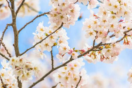 Yoshino cherry blossom in full bloom 免版税图像