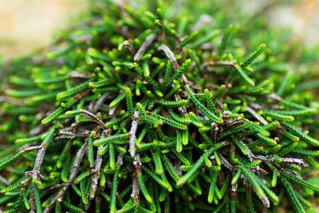 ericaceae: Cassiope, Ericaceae, Japan  Stock Photo