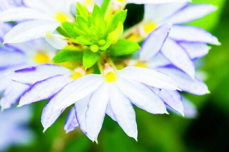 rich flavor: Scaevola aemula, blue fan flower, GOODENIACEAE, southeastern Australia  Stock Photo