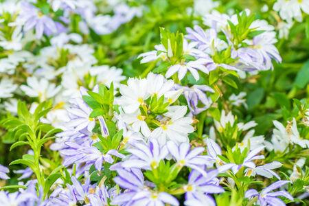 Scaevola aemula, blue fan flower, GOODENIACEAE, southeastern Australia  photo