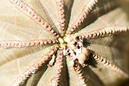 thorn tip: Euphorbia obesa, Euphorbiaceae, South Africa  Stock Photo