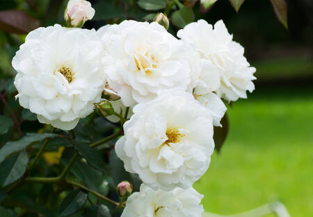 suggests: Close up of historical white Rose, Prosperity, England 1919