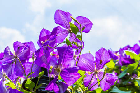 Purple clematis flowers and the blue sky photo