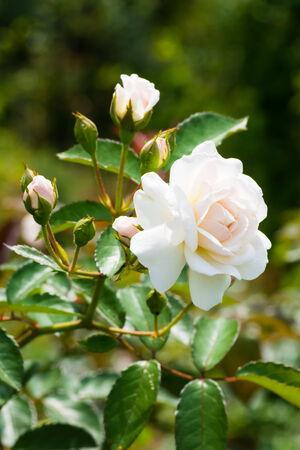 musk: Historical white Rose, Prosperity, England 1919