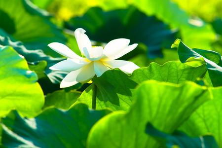 White lotus flower and big lotus pads stock photo picture and stock photo white lotus flower and big lotus pads mightylinksfo