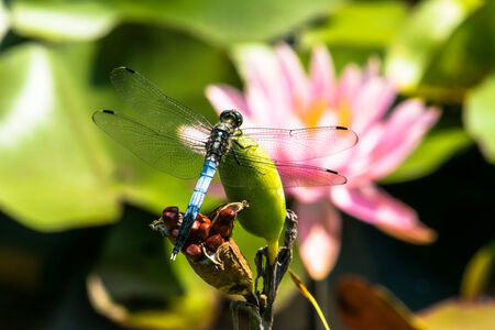 subspecies: Orthetrum albistylum speciosum (subspecies of white-tailed skimmer) and Red water lily
