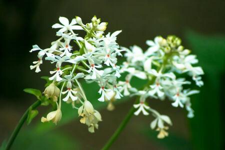orchidaceae: Calanthe triplicata, Orchidaceae, Japan, tropical Asia