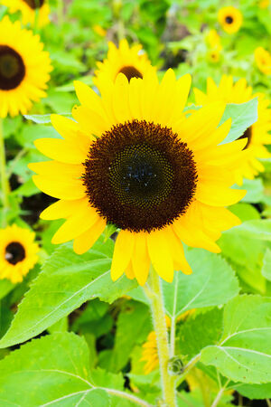 """Good Smile"", Sunflower in Summer photo"