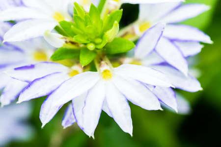 fan shaped: Scaevola aemula, blue fan flower, GOODENIACEAE, southeastern Australia