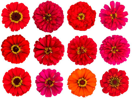Red zinnia flowers, cut out, white background