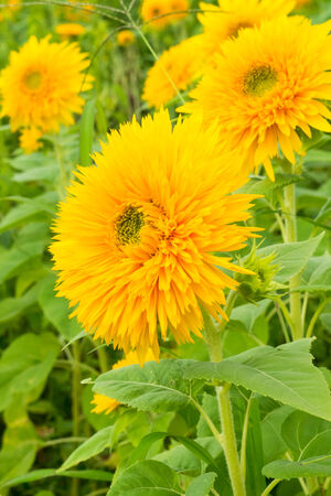 Tohoku Yae, Sunflower in Summer photo