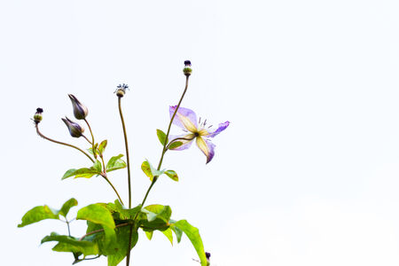 Light purple clematis flowers and the blue sky photo