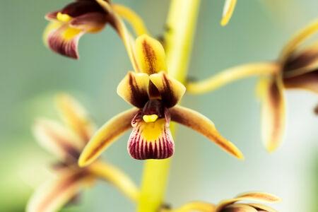 orchidaceae: Cymbidium, Orchidaceae, Laos