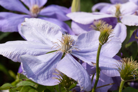 Light purple clematis flowers photo