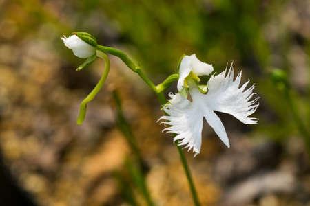 nt: Fringed orchid, Haberaria radiata, Orchidaceae, Japan, near threatened NT