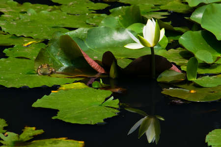 blackspotted: Black-spotted pond frog on the water lily pad