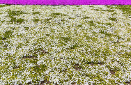 Red Moss Phlox Flowers And Mount Fuji Stock Photo, Picture And ...