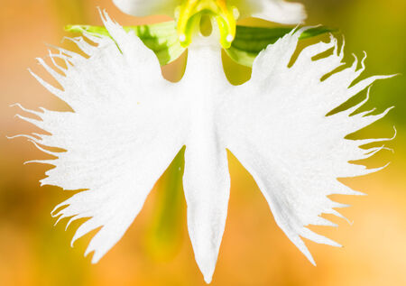 threatened: Fringed orchid, Haberaria radiata, Orchidaceae, Japan, near threatened NT