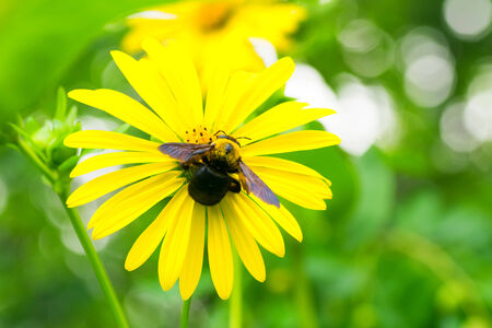 southeastern: Carpenter bee and Tetragonotheca helianthoides, Asteraceae, North America Southeastern Stock Photo