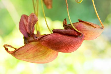 globosa: Nepenthes mirabilis var. globosa, Nepenthaceae, Malaysia Stock Photo