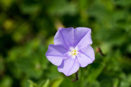 compactor: Convolvulus sabatius, Blue compactor, Convolvulaceae, Mediterranean coast