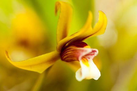 orchidaceae: Cymbidium finlaysonianum, Orchidaceae, Southeast Asia Stock Photo