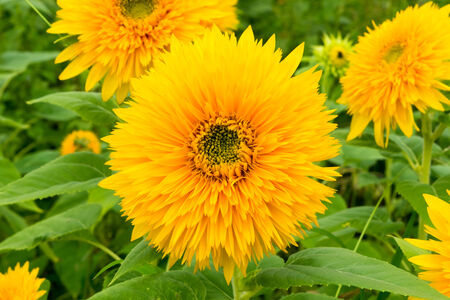 """Tohoku Yae"", Sunflower in Summer photo"