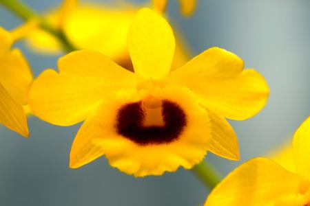 デンドロビウム chrysotoxum、黄色の蘭