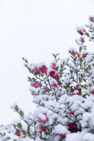 chilly: Snow and chilly camellia flowers