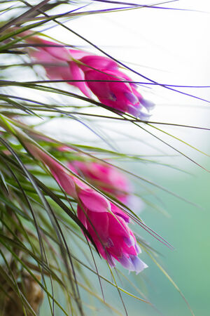 tillandsia: Tillandsia stricta, Bromeliaceae, tropical America Stock Photo